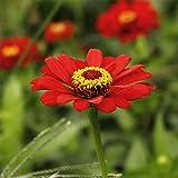 CHTING 800 Stück Zinniensamen Von Sind Sehr Anpassungsfähig Und Können Lange Zeit Leuchtende Farben Behalten In Ihrem Garten Gepflanzt Werden Sie Jeden Tag Gute Laune Hab