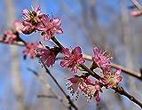 Rotlaubiger Wildpfirsich Prunus persica 'Rubira' Pflanze 25-30cm B