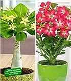 BALDUR-Garten Zimmerpflanzen-Kollektion, 2 Pflanzen Hawaii-Palme + Wüstenrose R
