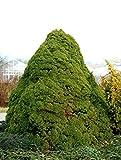 Zuckerhutfichte Picea glauca Conica, Containerware, 80-100 cm hoch, Weihnachtsb