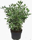 Euonymus japonicus 'Kathy' weiß-grüne Japanspindel 17 cm Topf - winterharter, wintergrüner, Strauch- als Kübelpflanze - für Balkon, Terrasse, Garten, als Heck