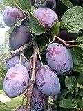 Hauszwetsche Pflaume Pflaumen Pflaumenbaum 120-150 cm im 7,5 L Topf Bauernp