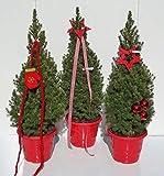 Picea glauca Conica Zuckerhutfichte in weihnachtlicher Dekoration 60-70 cm Preis nach Stückzahl 3 Stück