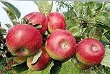 Apfel Baum 'Gravensteiner' Malus domestica Topf gewachsen 150-200cm im 7,5L Topf winterharter Obstb