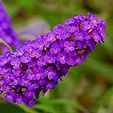 lichtnelke - Zwerg-Schmetterlingsflieder (Buddleja davidii) BUZZ Pink Purp