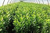 15st. Kirschlorbeer Novita 70-100cm reine Pflanzenhöhe im Topf Prunus laurocerasus Lorbeer Gartenhecke S