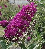 Zwerg-Schmetterlingsflieder buzz Pink Purple - Buddleja buzz Pink Purple (60-80)