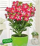 BALDUR Garten Wüsten-Rose 'Rot', 1 Pflanze Adenium Zimmerpflanze blühend Zimmerp