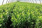 10st. Kirschlorbeer Rotundifolia 70-100cm reine Pflanzenhöhe Prunus laurocerasus Lorbeer schnellwachsend Heckenp