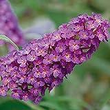 Zwerg-Schmetterlingsflieder BUZZ Pink Purple - Zwerg-Sommerflieder (Buddleja) Pflanze in tief rosa halbschattig und winterhart - Flieder-Strauch von Garten Schlü