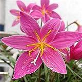 Candida Zephyranthes Grandiflora, Einfach zu Pflanzen, Kronenblume Knollen Seltene Farbe Home Staude Park Dekoration Blüte im Frühjahr-10 Zwieb