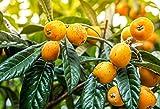 Mispelbaum - Eriobotrya Japonica - perfekt für Marmelade - 150+cm Stamm 80-90cm im 12Ltr. Top