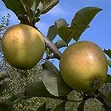 Winterapfel Golden Delicious Busch saftig aromatisch 120/150 cm lange Lagerfähig