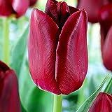 Tulpe Zwiebel Tulpen Blumenzwiebeln Frühblüher Tulpenzwiebeln Winterhart Mehrjährig