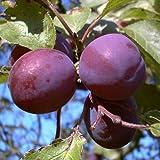 Königin Viktoria Pflaume Pflaumenbaum Obstbaum Busch 2-jährig Liefergröße ca. 120-160 cm im Top