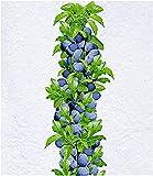 BALDUR Garten Säulen-Zwetschgen 'Anja®', 1 Pflanze, Pflaumenbaum,