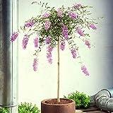Buddleja davidii 'Lavender Flow'   Lila Schmetterlingsflieder Winterhart   Blühender Zierstrauch   Höhe 50 cm   Topf-Ø 19