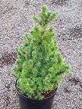 Picea glauca conica - Zuckerhutfichte, gelieferte Topfgröße 15 cm, Höhe.40