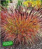 BALDUR Garten Chinaschilf Red Chief 1 Pflanze Miscanthus sinensis winterhart Chinag