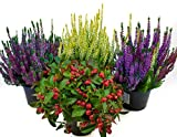 Herbst Blumen Set Nr.9 Calluna vulgaris Trios Milka & Wildbeery, Scheinbeere & Besenheide gelb