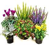 Herbst Blumenset Nr.2 Calluna vulgaris Trios Milka, Skyline, Alpenveilchen, Viola Stiefmütterchen, Scheinbeere & Silberb
