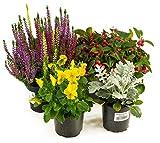 Herbst Blumen Set Nr.5 Calluna vulgaris Trios Milka, Scheinbeere, Viola Stiefmütterchen & Silberb