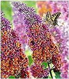 BALDUR Garten Buddleia Sommerflieder 'Flower-Power' Schmetterlingsflieder, 1 Pflanze Buddleja Hybride, Schmetterlingsstrauch Z