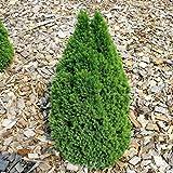Zwerg Zuckerhutfichte Laurin 60-70cm - Picea g