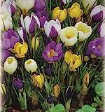 100 Botanische gemischte Krokusse Blumenzwiebeln Crocus krok