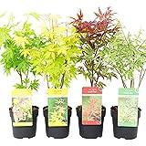 4x Acer palmatum | 4er Set Fächerahorn | Winterharte Pflanzen für Garten | Höhe 30-35cm | Topf-Ø 10,5