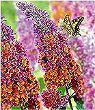 BALDUR Garten Buddleia Sommerflieder Flower Power, 1 Pflanze Buddleja Hybride, Schmetterlingsflieder Schmetterlingsstrauch Z