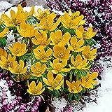 25x Eranthis cilicica   25er Set Winterlinge Zwiebeln   Gelbe Blüte   Blumenzwiebeln Frühblüher   Ø 4-5