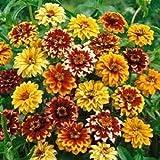 50+ Zinnien Perserteppich-Mix Blumensamen, langanhaltend einjährig
