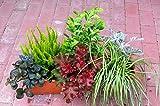 Immergrünes Balkonpflanzen-Set, 6 winterharte Pflanzen für 60 cm Balkonk