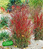 BALDUR-Garten Winterhart Ziergras Roter Strahl, 1 Pflanze Panicum virgatum Rotstrahlg